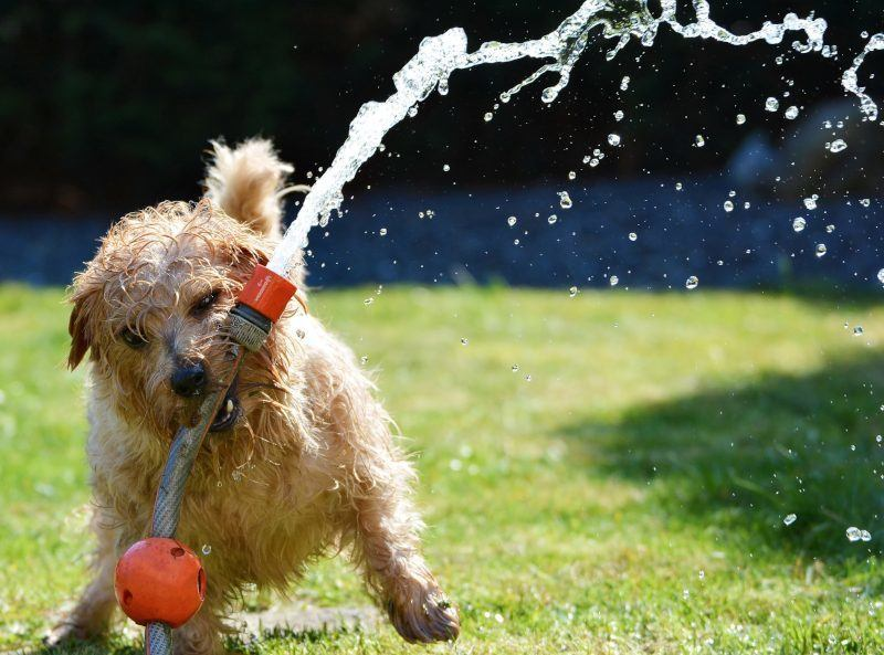 Dog Playing with Garden Hose